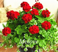 Wholesale Geranium Seeds - Geraniums Red Color 20 PcsFlower Seeds Easy to grow from seeds Perennial Flower