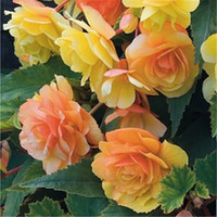 ingrosso semi di begonia-50pcs Bella Begonia Flower Seeds Mix colori perenni in vaso Bonsai Garden