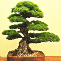 Wholesale Japanese Black Pine Seeds for DIY Home Garden Perennial Everygreen Hardy Bonsai Easy to grow from seeds
