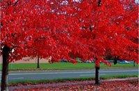 ingrosso albero di bonsai di acero rosso-Semi di piante in vaso 20 PZ American Blood Red Maple Tree Seeds Bonsai Home Garden