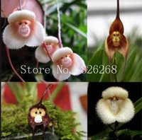 visage de singe orchidée graines de fleurs achat en gros de-Graines de fleurs de bonsaï Visage de singe graines de fleurs d'orchidée graines de fleurs de jardin 20 pcs