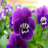 sementes de pansy venda por atacado-Pendurado Pansy Sementes Sementes de Flores Interior Bonsai planta 30 partículas / lote L091