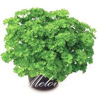 Wholesale Parsley Herbs - Parsley Vegetable 100 Seeds Fragrant Non-Gmo Easy-growing Heirloom