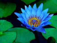 Wholesale Aquatic Seeds - 2pcs Blue Lotus Seeds Aquatic plants Water lily seed Bonsai plants Seeds for home & garden 3bags per lot
