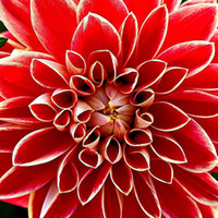 flores da dália vermelha venda por atacado-100 pcs Venda Quente Vermelho Dahlia Sementes Belas Flores Perenes Sementes planta Dahlia Bonsai Sementes Planta Perene