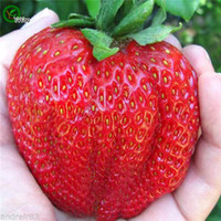 Wholesale Giant Fruit Seeds - Giant Strawberries Seeds Organic Fruit Tree Seeds Home Garden Fruit Plant ,Can Be Eaten! 100 pcs F010