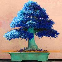 semillas de bonsai azul al por mayor-10 semillas / paquete, semillas de árbol de arce de China Maple Tree. Rare Sky Blue Maple Seed. Balcón Plantas