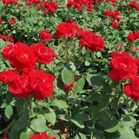 venda de sementes de flores venda por atacado-130 PCS Red Rose Planta Sementes de Flores Flor Presente Do Jardim Planta Mensagem Crescente Decoração de Casa de Alta Qualidade Venda Quente Frete Grátis
