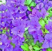 Wholesale Bougainvillea Flowers - 150 Seeds   Bag ,Bougainvillea Seeds, Potted Seed, Flower Seed, Variety Complete, The Budding Rate 95%, (Mixed Colors)