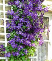 ingrosso viola semi-wholesale2pcs Bulbi di Clematis viola, Clematis Flower, (Non Clematis Seeds) pianta bonsai