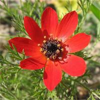 Wholesale Annual Garden Plants - 100 Pcs Red Longevity Flower Seeds Annual Herb Large Area Greening Commonly Flower Garden Plant