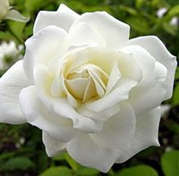 Wholesale Beautiful white rose seeds Bonsai plants Seeds Balcony Potted Barrier Flowers seeds Garden Plants per