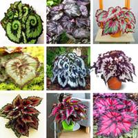 ingrosso piante del cortile-100 pz / borsa Semi di Begonia Semi di Fiori Bonsai Cortile Balcone Coleus Semi di Begonia Piante In Vaso Per La Casa Giardino