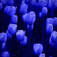 ingrosso piantare piante di tulipani-100pcs / bag Bonsai Tulip Seeds Rare Deep Blue Tulip Flower Seeds Giardino domestico Piante in vaso
