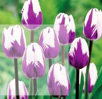 frei mehrjährige samen großhandel-2 stücke HEIßER Regenbogen Tulip Seeds Seltene Blumen Samen Mehrjährige Bonsai Pflanze Geschenk Für Hausgarten Hof Verschönern FREIES VERSCHIFFEN