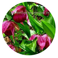 Wholesale 100pcs a set Cypripedium macranthum Sw Flower Seed Hot Rare Seed Great For You From Iris Hua In China