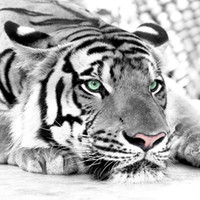 Wholesale Tiger Bedroom Wall - Wholesale- 3D photo wallpaper Tiger black and white animal murals entrance bedroom living room sofa TV background wall mural wall paper