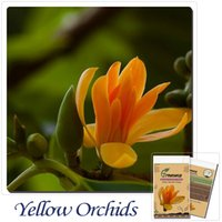 Flower Seeds orchid seedlings - Special potted flowers yellow orchids mixed magnolia yellow orchid seedlings savory green plants flowers