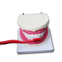 Wholesale Tooth Model Study - 1pcs Magnify Dental Teeth Model Oral Care Toothbrushing Guidance Teaching Model For Medical Science Dentist Disease Teaching Study