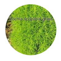 Wholesale Kochia Scoparia Grass - 1000Pcs a set Kochia scoparia grass Seed Hot Rare Seed Retail And Wholesale Contact Seller Iris Thank You