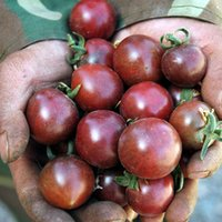 çiçek tohumları paketleri toptan satış-Bir Paket 100 Adet Siyah İnci Domates Tohumu Bitki Tohumları Bahçe Dekorasyon Bonsai Çiçek Tohumları