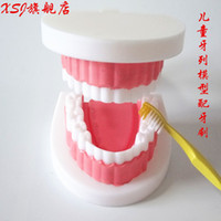 Wholesale Tooth Model Study - Wholesale- Children dentition model Medical Study Equipment School Teaching Accessories Kid's medical science Tooth model Aids