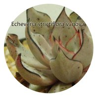 Wholesale Nova Life - 50pcs a set Echeveria strictiflora v. nova Seed Hot Rare Seed Great Quality Great Service Great Price For You Life Is A Journey