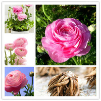 Wholesale Plants Seeds Bulbs - Rare Pink Ranunculus Asiaticus Flower Bulbs( Persian Buttercup) Flower Bulbs Symbolizes Love.Flower Garden Plants-2 Bulbs