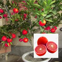 blumensamen stiefmütterchen großhandel-20 stücke red lemon seeds neue ankunft drawf baum bonsai bio obst samen für hausgarten liefert einfach wachsen exotische samen topf