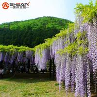 ingrosso semi di albero ornamentali-10 Particles / Bag Bonsai Plant WhitePurple Wisteria Tree Seeds Indoor Ornamental Plants Seeds Semi di glicine