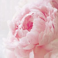 Wholesale Peonies Seeds - 1 Bag 6 Fragrant Pink Peony Flower Seeds Scented home A154
