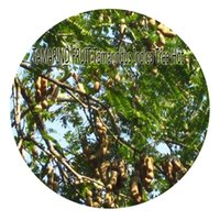 Wholesale Indica Seeds - 20pcs a set TAMARIND FRUIT Tamarindus Indica Tree Seed Rare Seed Hot Seed Great Quality Great Service Great Price