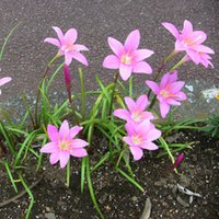 Wholesale The red flower Zephyranthes candida corm and the real Zephyranthes grandiflora with Rainlily seedball the pink zephyr lily napiform root