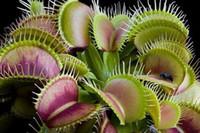 Wholesale Giant Flower Seeds - Garden Plant 100 PCS   Pack Potted Insectivorous Plant Seeds Dionaea seeds Muscipula Giant Clip Venus Flytrap Seeds Carnivorous