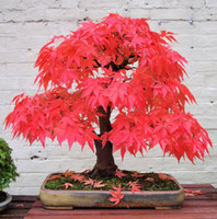 semillas de bonsai de arce japonés al por mayor-20 Mini Hermosas Semillas Bonsai de Arce Rojo Japonés, Bonsai DIY, FRESH MAPLE SEEDS, envío gratis