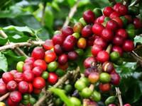 Wholesale Beans Seed - Coffee Bean Seeds, ARABICA COFFEE Plant (Coffea Catura Arabica) SEEDS 5seeds lot