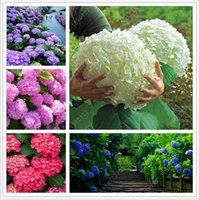Flower Seeds organic growth - fast shipping hydrangea seed china hydrangea hydrangea flower seeds colours Natural growth for home garden planting