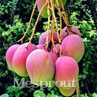 ingrosso sementi gratuite per la spedizione-Seme molto delizioso della frutta del seme di mango raro di 2PCS molto facile coltiva il giardino domestico Trasporto libero