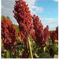sebze kapları toptan satış-Bahçe Sorghum tohumları çiçek tohumları saksı Kırmızı Sorghum 50 kolay tür Sağlıklı gıda bonsai sebze tohumları