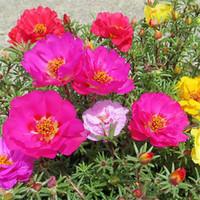 Wholesale Perennial Flower Plants - 500 Portulaca grandiflora Moss Rose Double Flower Mix Color Seeds Easy to Grow Drought-tolerant DIY Home Garden Bonsai Perennial Plant