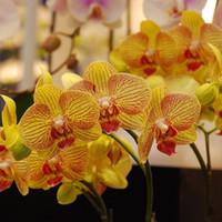 ingrosso fiori da giardino comuni-200 Pz Semi di Phalaenopsis Semi di fiori di orchidea Semi in vaso Semi di fiori fai da te Pianta bonsai