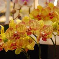 ingrosso pianta in vaso di orchidea-200 Pz Semi di Phalaenopsis Semi di fiori di orchidea Semi in vaso Semi di fiori fai da te Pianta bonsai