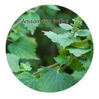 Wholesale Indica Seeds - 300pcs a set Anisomeles indica Seed Hot Rare Seed Great Quality Great Service Great Price For You Life Is A Journey