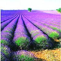 сорта роз оптовых-Открытый семена растений фиолетовый лаванды сад семена плантатор бонсай растение семена овощей очень ароматный крытый бонсай растение 1000 частиц бонсай