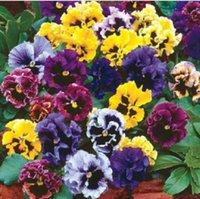 sementes de pansy venda por atacado-50 Pcs Bela Semente Tricolor Viola Multicolorido Flor Pansy Semente