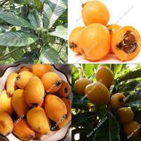 ingrosso semi freschi dell'albero-5 Fresh Tropical LOQUAT GIGANESE PLUM Albero da frutto Semi Frutta sana Loauat Sementes Raras De Frutas semi di frutta