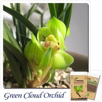 Common orchid species - The flower petals of the green cloud orchid queen with buds Yunnan native old species of flowers under the m