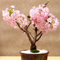 ingrosso alberi bonsai crescenti-Trasporto libero 5 semi rosa Cherry Tree, giardino domestico fai da te Mini Bonsai, facile coltivazione