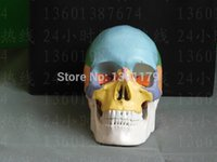 Wholesale Life Size Human Skeletons - Wholesale- SHUNZAOR life size Human anatomy skull brain skeleton anatomical dental dentist lab anatomia model skin in trauma for bag refrig