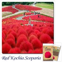 Common ornamental grass gardens - Grass seeds Perennial Grass Burning Bush Kochia Scoparia Seeds Red Garden Ornamental easy grow